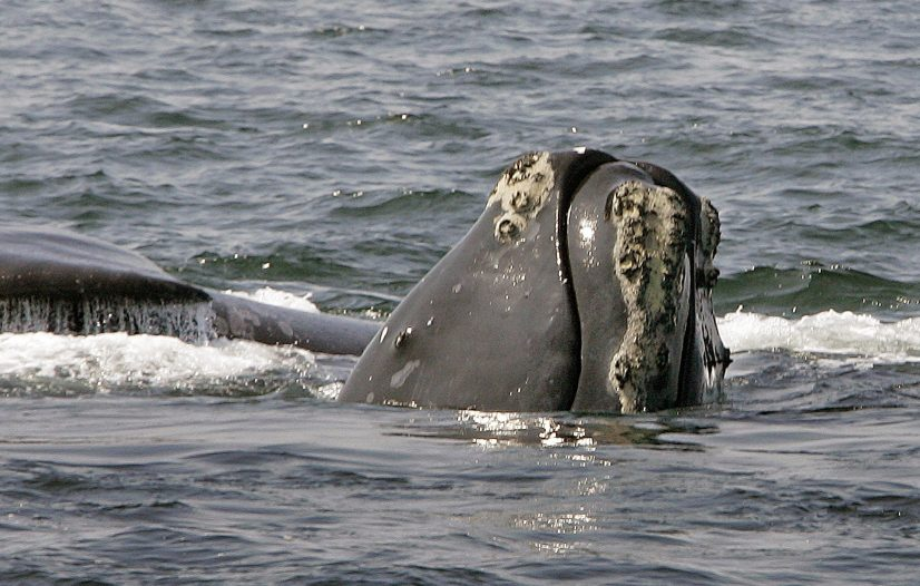 The head of a North Atlantic right whale emerges from the water as another whale passes behind in Cape Cod Bay near Provincetown, Mass. Right whales could become another casualty of climate change.