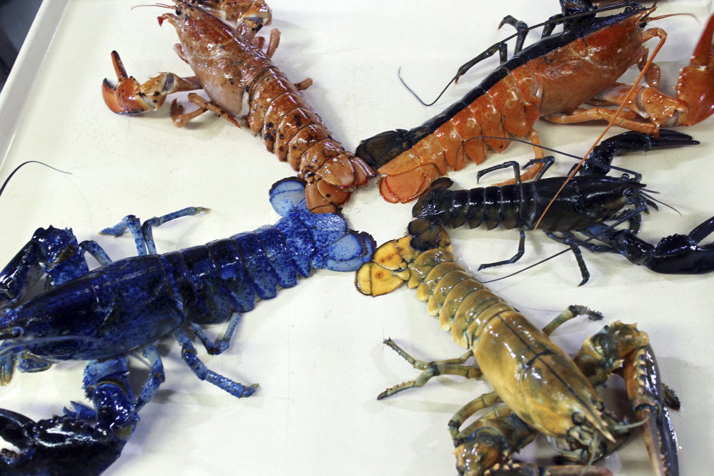 A rare yellow lobster in this Aug. 31 photo provided by the New England Aquarium in Boston, is displayed with the museum's collection of other oddly colored crustaceans.