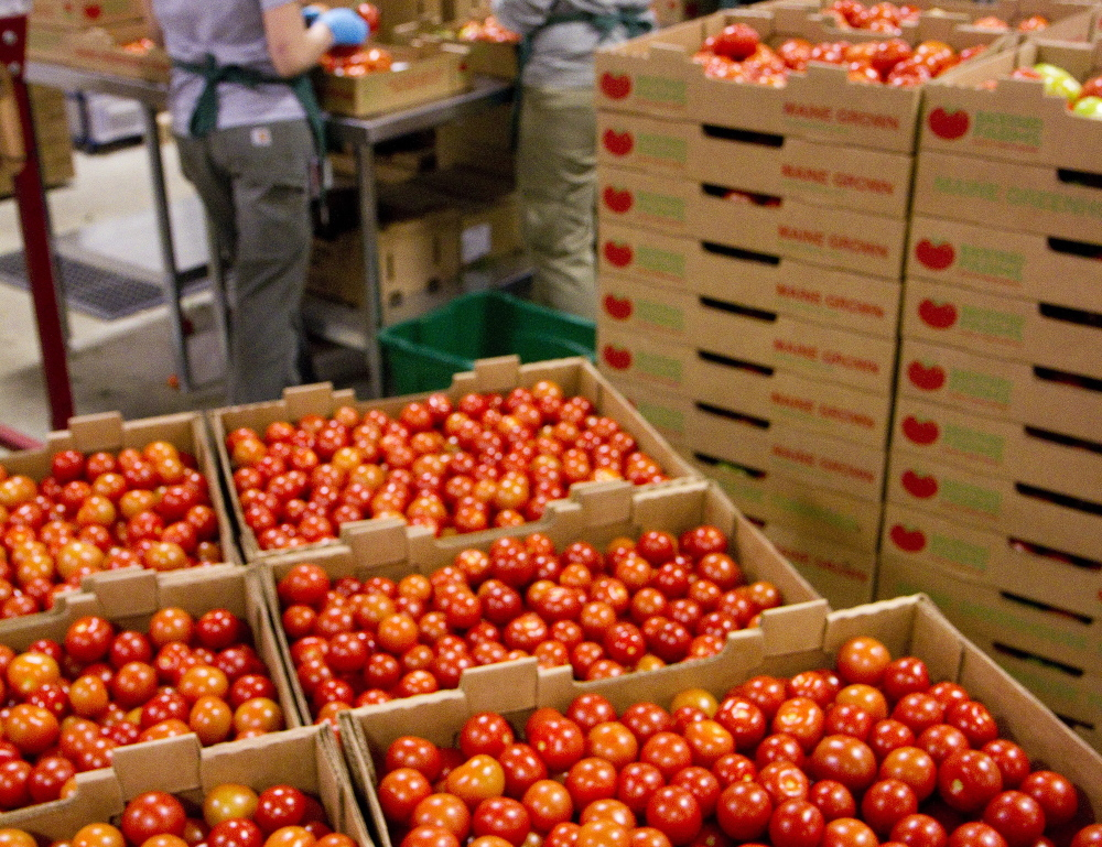 Tomatoes are sorted and packed for shipping at Backyard Farms in Madison. A new crop of tomatoes is expected to start heading out to retailers by the end of the month.