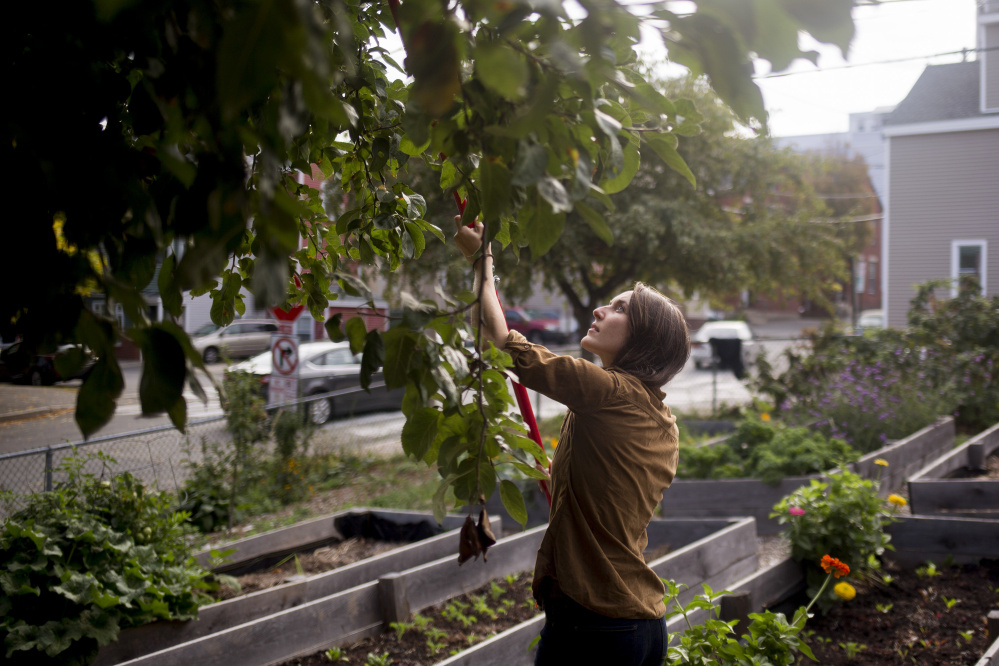 Kayla Blindert gleans apples from a tree in the Cultivating Communities garden on Oxford Street.