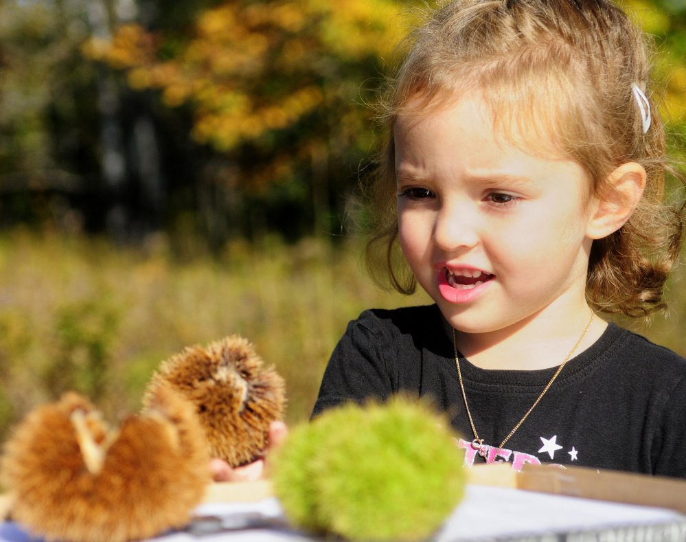Abby Cormier, 4, of Manchester sizes up chestnut burrs at the Augusta arboretum Saturday.