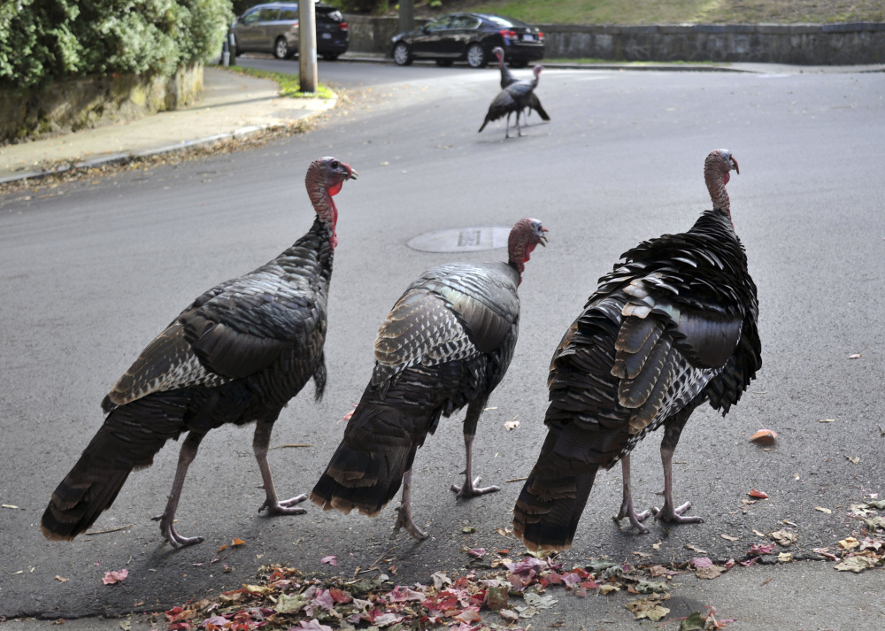 Wild turkeys walk along a street in Brookline, Mass. Wild turkeys have bounced back in New England in a success story for wildlife restoration. But as they spread farther into urban areas, they're increasingly coming into conflict with humans.