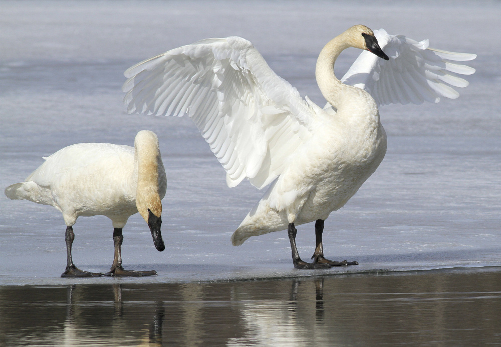 A pair of trumpeter swans stretch and preen in Westchester Lagoon in Anchorage, Alaska. The Fish and Wildlife Service is working on a plan aimed at letting hunters shoot them legally in certain states that allow the hunting of tundra swans. The swans have made a comeback in recent decades thanks to efforts to reintroduce them.