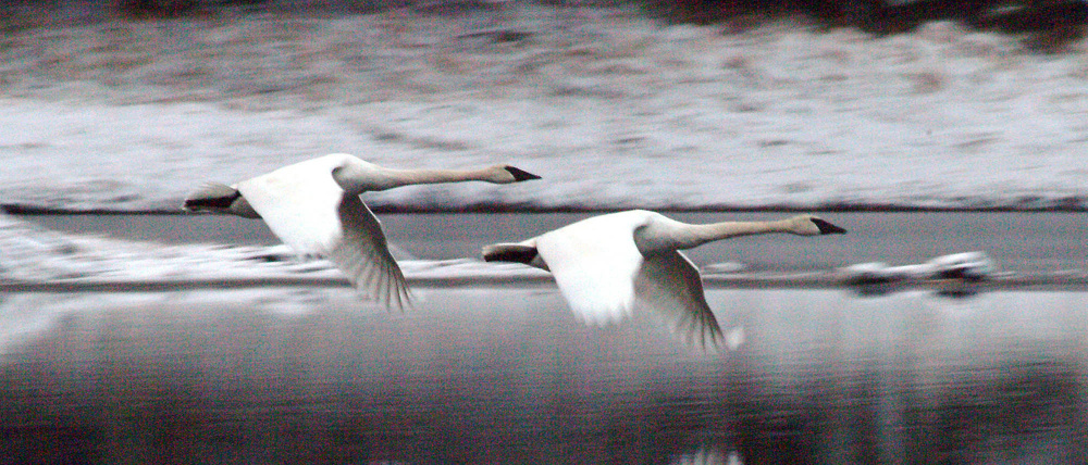 Two trumpeter swans fly along Blind River Rapids on Mitkof Island just south of Petersburg, Alaska.