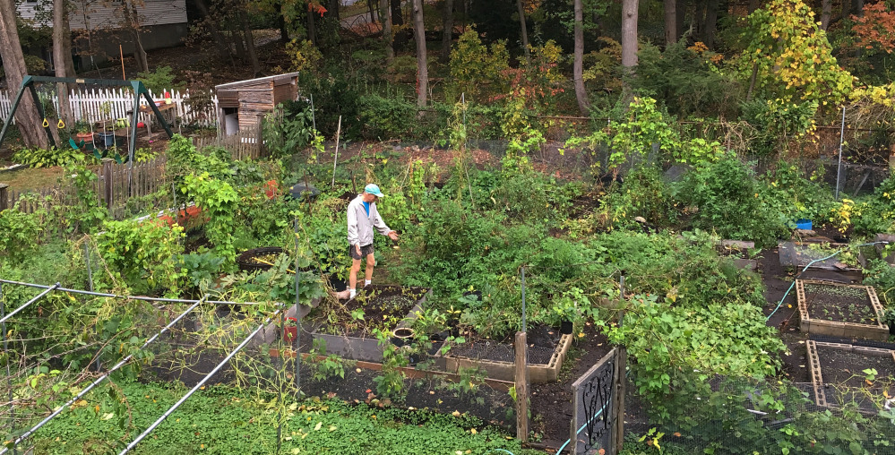 Margaret Primack took this photo on Oct. 24. It shows her husband, Richard, in their home garden in Boston, still growing and productive. Richard, a Boston University biology professor, says in New England, many trees aren't changing colors as vibrantly as they normally do or used to because some take cues for when to turn from temperature.
