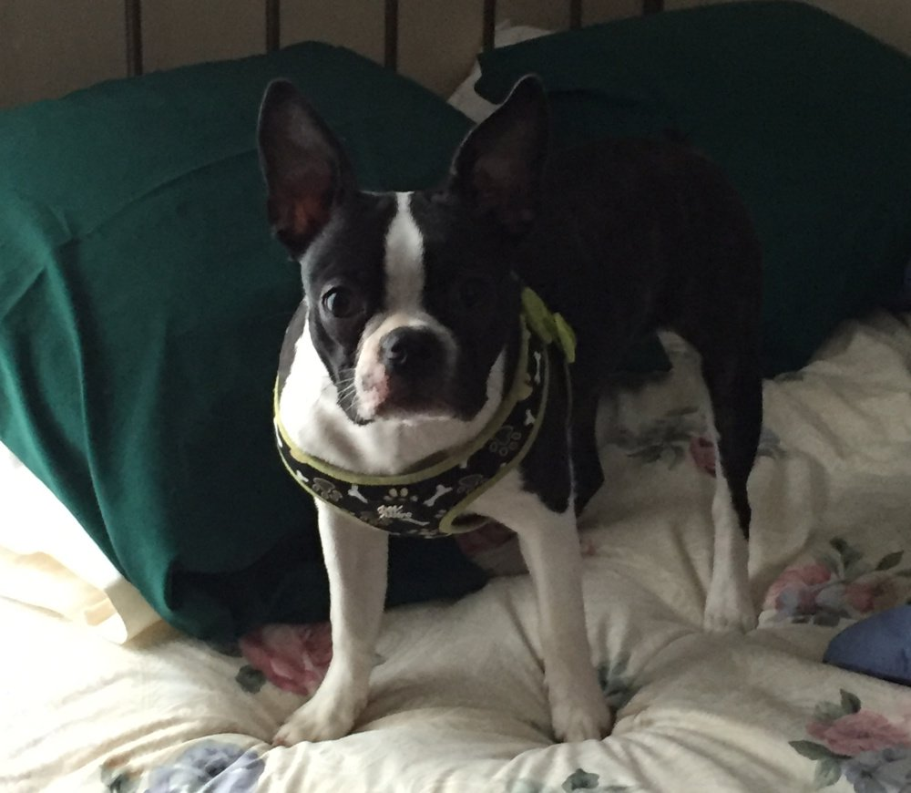 Fergie Rose, a Boston terrier, was killed by two pit bulls that escaped from their yard in August 2016 in Winslow. The dogs that killed Fergie were ordered euthanized but got loose when they were taken for a walk Tuesday.