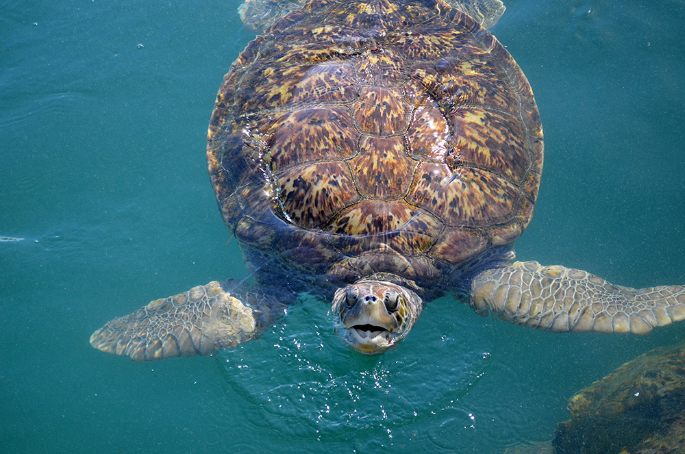 An endangered green sea turtle comes up for air near Grand Cayman Island.