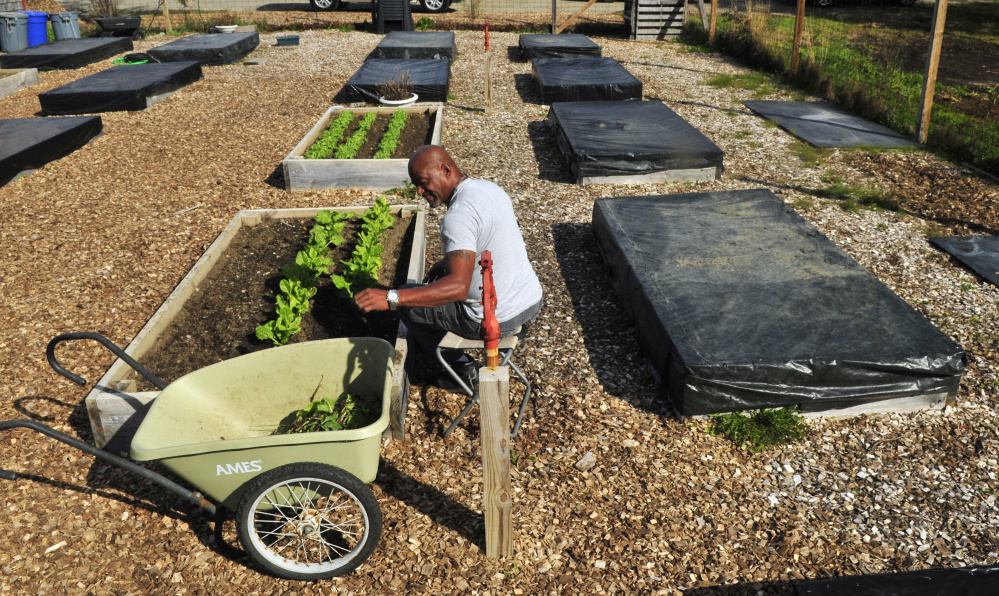 Harold Massey harvests Swiss chard in October at the VA Maine Healthcare System-Togus facility.