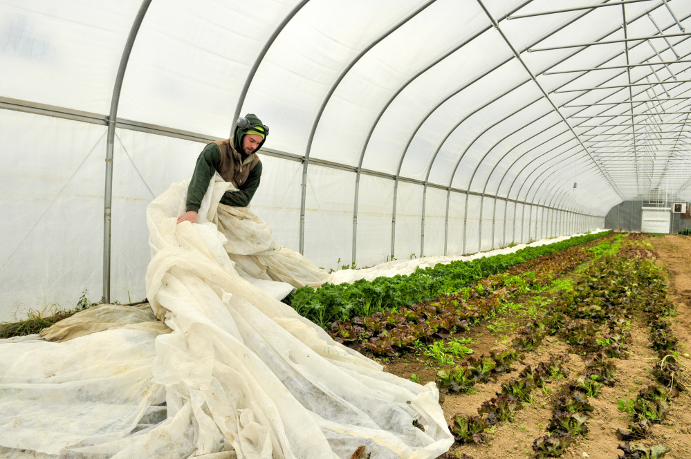 Kevin Leavitt pulls a floating row cover off the lettuce and kale plants in a greenhouse Thursday at Farmer Kev's Organic in West Gardiner. The cloth helps keep the plants under it from freezing.