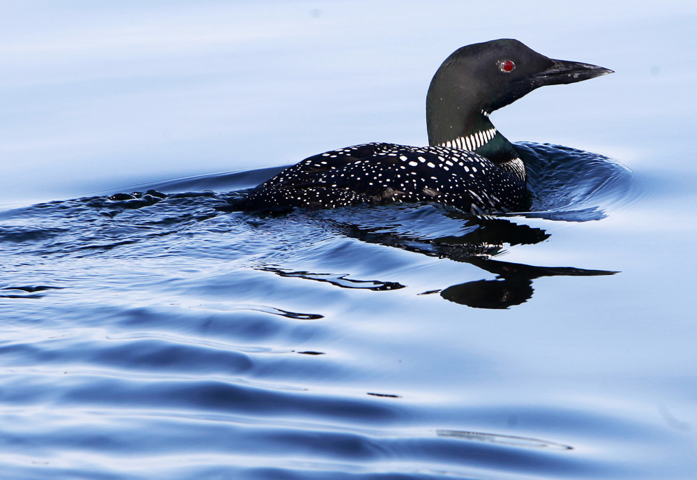 Leftover Lead Fishing Tackle Still Poisoning Nh's Loons