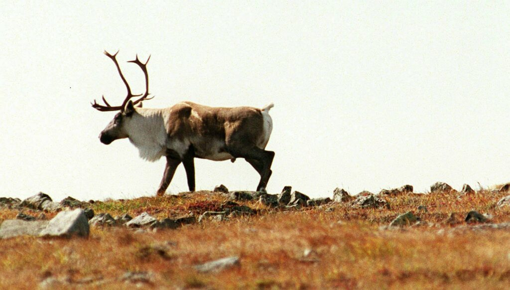 Caribou, like this one on the summit of Mont Jacques Cartier in Quebec, would have been a common sight in Maine 200 years ago. Today, the caribou on the Gaspe Peninsula belong to the last remaining herd south of the Arctic Circle. Maine's caribou were hunted to the point of extirpation, or local extinction.