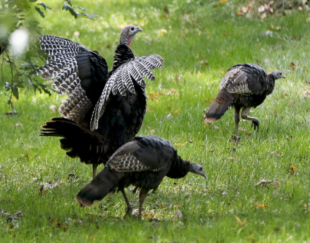 Much of the year, wild turkeys live in flocks, often segregated by age and gender.