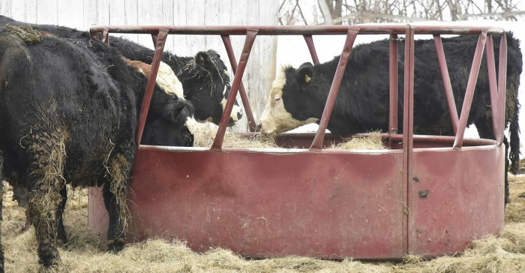 Angus beef cows and a bull eat on a Maine farm. Walmart is creating its own beef supply chain to please customers who want more information about where the meat they buy comes from.
