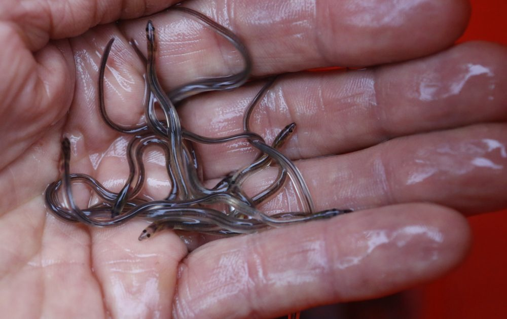 Baby eels, also known as elvers, are fished in Maine and sold to Asian aquaculture companies to be raised to maturity.
