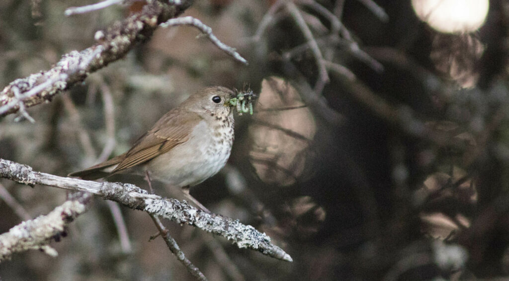 A Bicknell's thrush forages on Saddleback Mountain in 2018. The species will be a highlight of the first-annual Rangelely Birding Festival in June, 2019, Photo courtesy of Doug Hitchcox