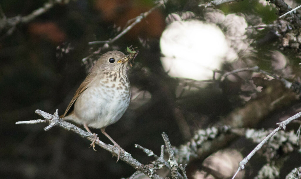 A Bicknell's thrush forages on Saddleback Mountain in 2018. The bird will be a big draw to birders attending the first-annual Rangeley Birding Festival in June, 2019. Photo courtesy of Doug Hitchcox