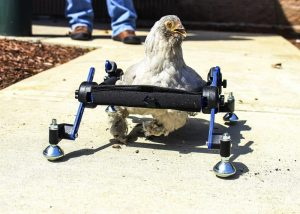 Disabled_Chicken_50767