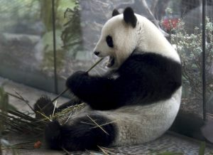 Germany_Zoo_Panda_73975