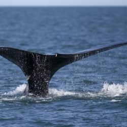Right_Whale_Protection_82979