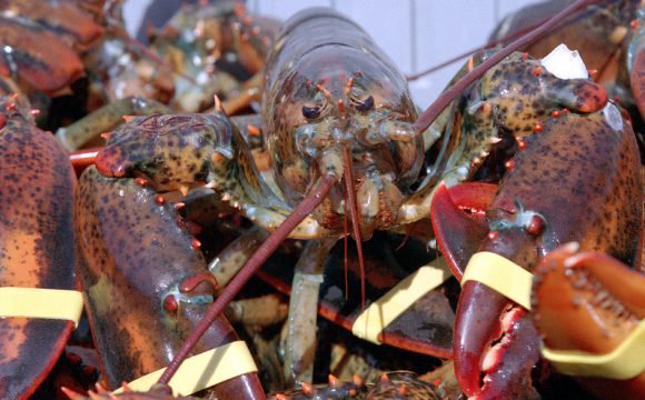 The Maine Lobster Union fires co-op CEO