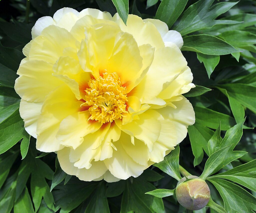 The Bartzella Peony, at Coastal Maine Botanical Gardens in Boothbay, is an intersectional peony.
