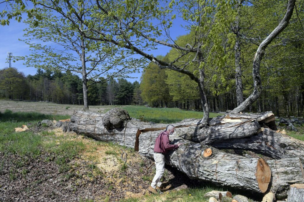 """Farmer Elmer Elvin surveys a 150-year-old maple he felled May 20 between two fields he cultivates at the Elvin Farm in Readfield. Elvin said he doesn't start his produce crops until late spring, to avoid flooding and freezes. """"But I'd rather be planting than cutting,"""" he said."""