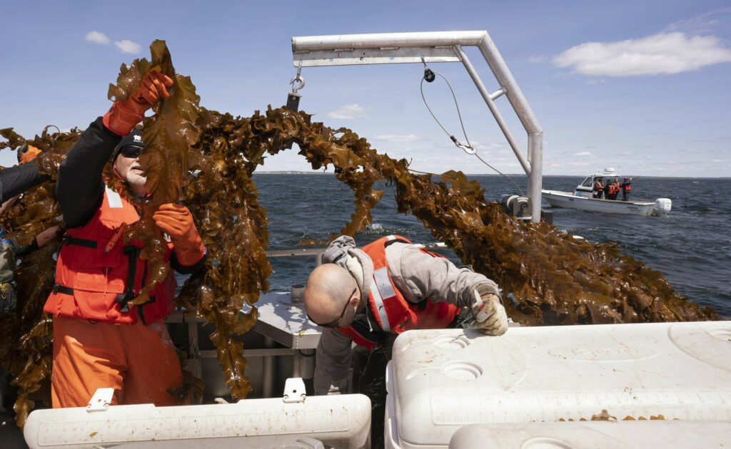 SACO BAY, ME - MAY 22: Barry Costa-Pierce, left, examines a piece of kelp while Adam St. Gelais packs kelp into a cooler aboard a boat in Saco Bay on Wednesday, May 22, 2019. The two are with the University of New England, which received a $1.3 million grant from the Department of Energy to create a seaweed farm to assess the ability to grow seaweed in the open ocean. (Staff photo by Gregory Rec/Staff Photographer)