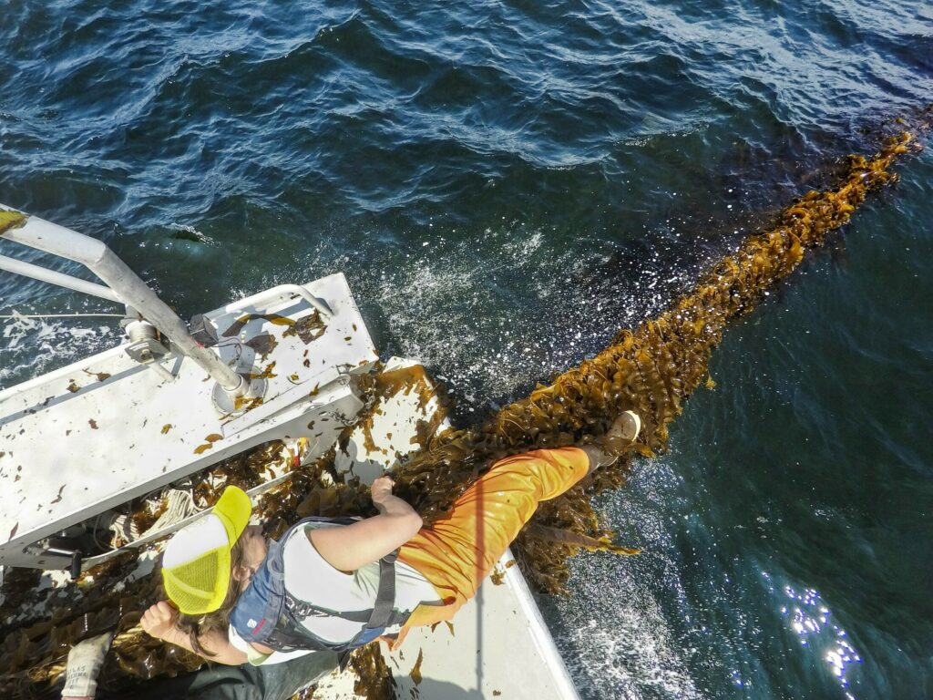 SACO BAY, ME - MAY 22: Gretchen Grebe hauls in rope with kelp attached onto a boat in Saco Bay on Wednesday, May 22, 2019. Grebe is a University of Maine Ph.D candiate in Aquaculture and Aquatic Resources working with the University of New England, which received a $1.3 million grant from the Department of Energy to see if seaweed can be farmed in the open ocean. (Staff photo by Gregory Rec/Staff Photographer)