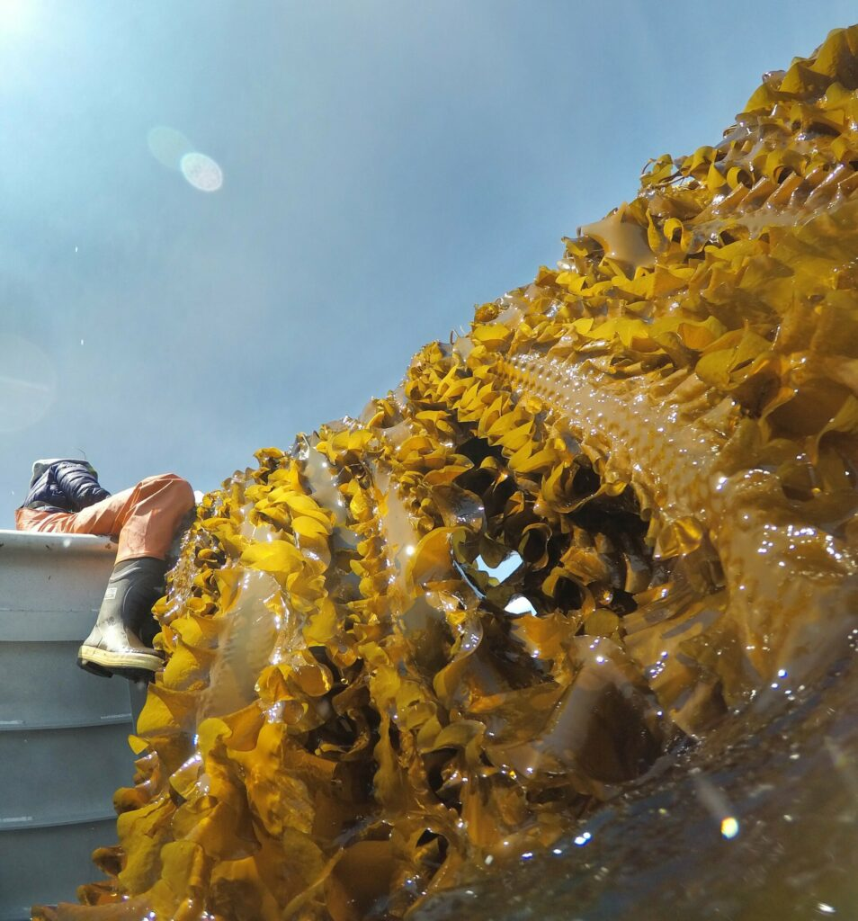 SACO BAY, ME - MAY 22: Kelp stretches down from a rope as it is hauled aboard a boat in Saco Bay on Wednesday, May 22, 2019. The kelp is part of a seaweed farm created by the University of New England, using a $1.3 million grant they received from the Department of Energy to assess the ability to grow seaweed in the open ocean. (Staff photo by Gregory Rec/Staff Photographer)