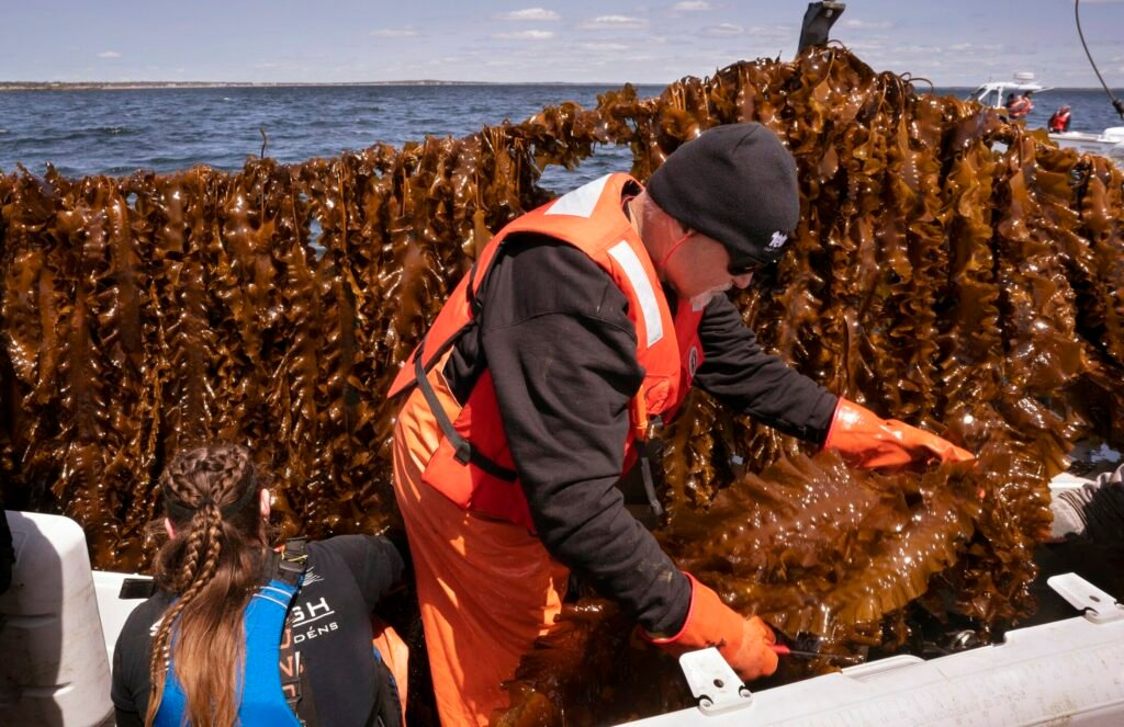SACO BAY, ME - MAY 22: Barry Costa-Pierce, executive director of University of New England North, places kelp he harvested from the line behind him into a cooler aboard a boat in Saco Bay on Wednesday, May 22, 2019. The University of New England received a $1.3 million grant from the Department of Energy to create a seaweed farm to assess the ability to grow seaweed in the open ocean. (Staff photo by Gregory Rec/Staff Photographer)