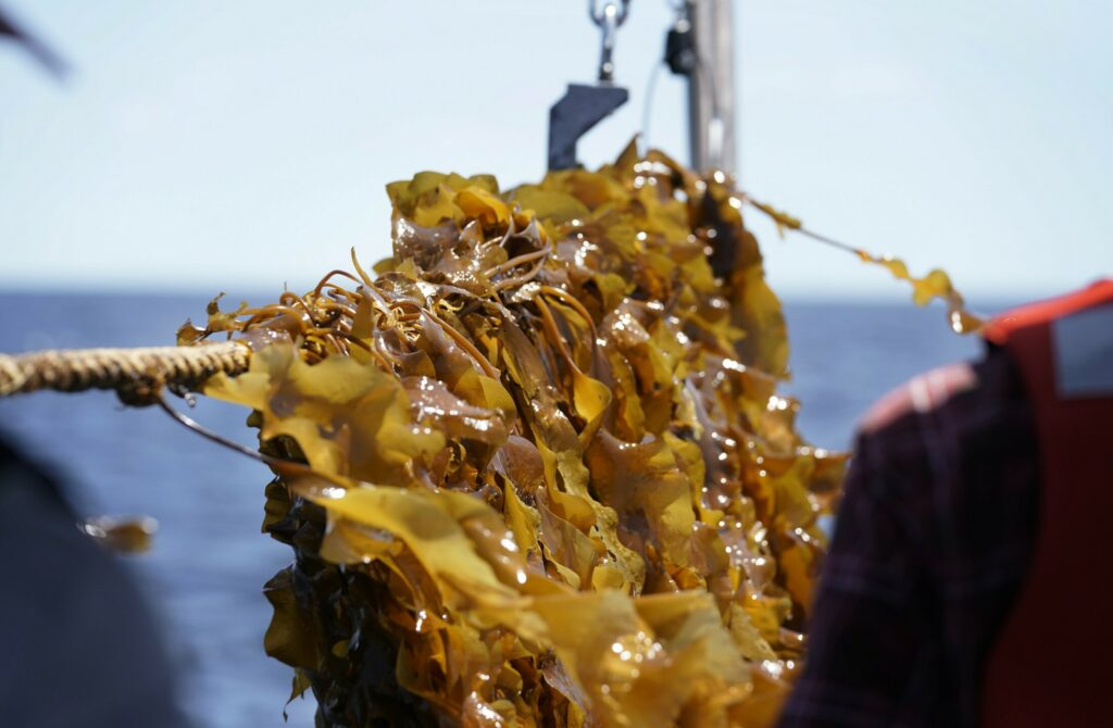 SACO BAY, ME - MAY 22: Kelp about to be harvested clings to a rope stretched across the port side of a boat in Saco Bay on Wednesday, May 22, 2019. The kelp is part of a seaweed farm created by researchers at the University of New England, which received a $1.3 million grant from the Department of Energy to see if seaweed can be farmed in the open ocean. (Staff photo by Gregory Rec/Staff Photographer)