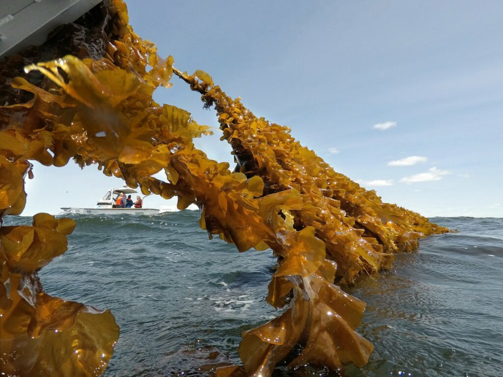 SACO BAY, ME - MAY 22: Kelp clings to a rope leading up to a boat in Saco Bay where it is being harvested on Wednesday, May 22, 2019. The kelp is part of a seaweed farm created by the University of New England, using a  $1.3 million grant from the Department of Energy to assess the ability to grow seaweed in the open ocean. (Staff photo by Gregory Rec/Staff Photographer)