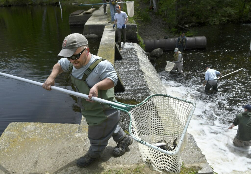 Department of Marine Resources specialist Greg King hauls a net full of alewives over the dam on Togus Stream on Tuesday in Chelsea. The sea-run herring was restored to Togus Pond as part of an anadromous fish restoration project by a state agency, with multiple partners, that will result in fish passage being erected in the dam, which officials estimate is more than 200 years old.