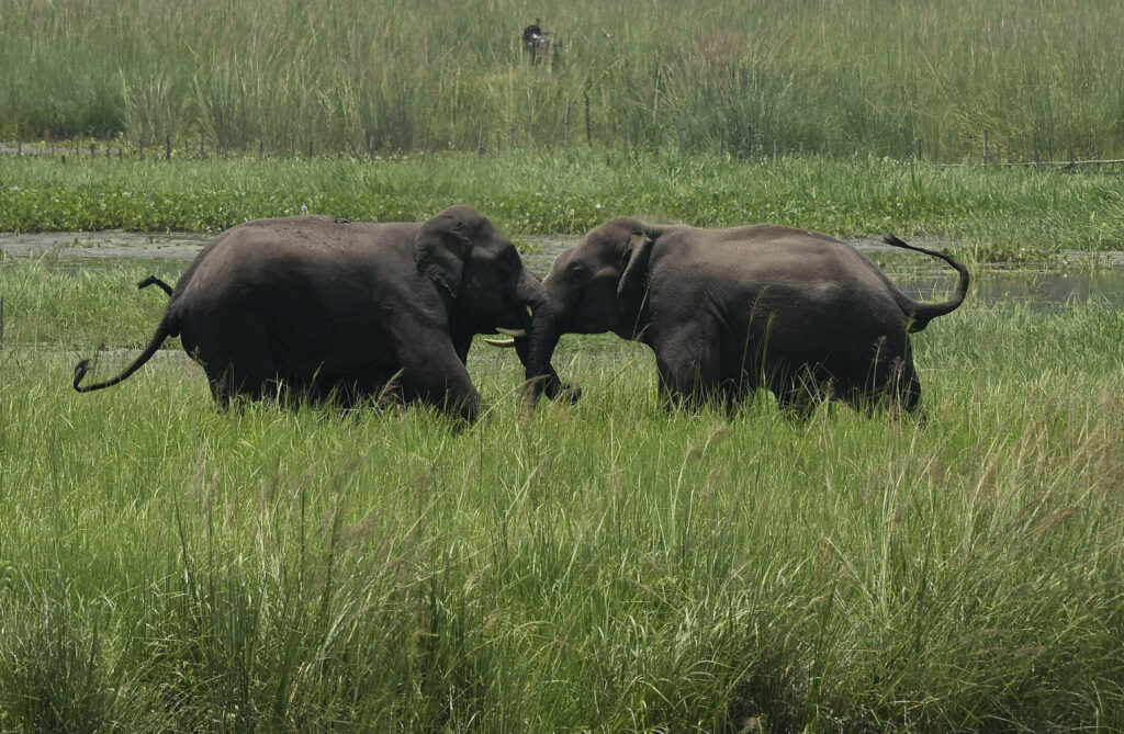 In this June 7, 2017, file photo, two wild elephants, part of a herd that arrived at a wetland near the Thakurkuchi railway station engage in a tussle on the outskirts of Gauhati, Assam, India. Development that's led to loss of habitat, climate change, overfishing, pollution and invasive species is causing a biodiversity crisis, scientists say in a new United Nations science report released Monday, May 6, 2019.