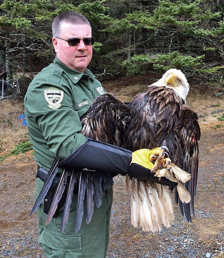 Game Warden Joe McBrine found this injured bald eagle on Friday in Washington County – and found that it was banded on June 21, 1983.
