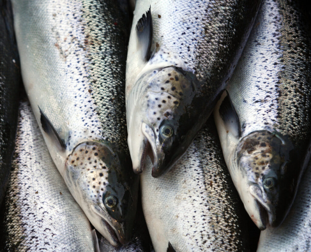 Catch of Atlantic salmon hits all-time low, group says
