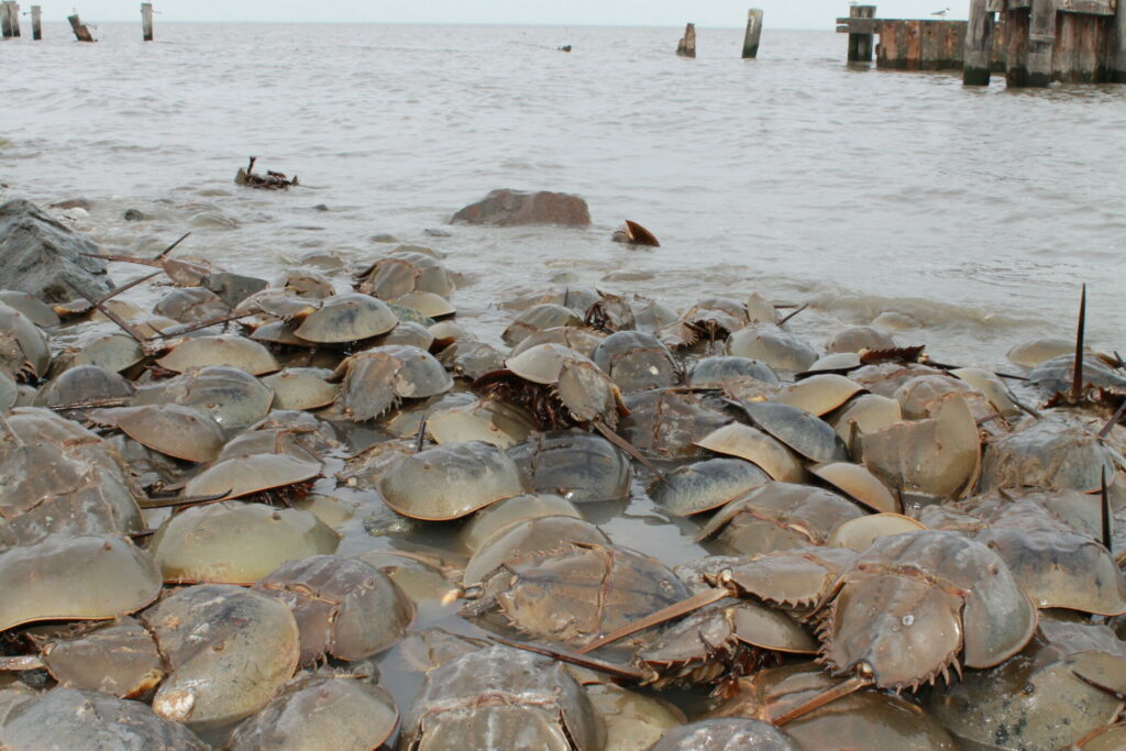 Atlantic horseshoe crabs congregate on the shore in Delaware.