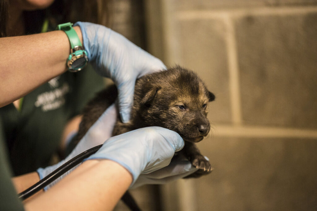 The Lincoln Park Zoo is taking part with other zoos in a Red Wolf Species Survival plan to increase the red wolf population. They are the first new litter or red wolf pups at the zoo in nearly a decade.