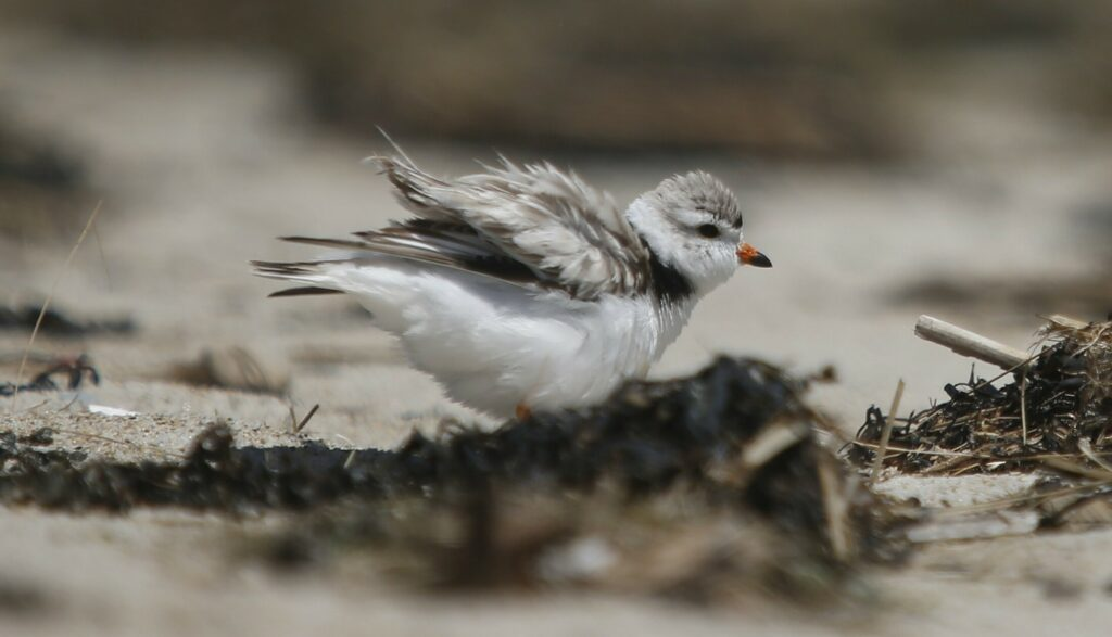 "An adult piping plover ""puffs up"" while protecting a nest in Old Orchard Beach in June 2019. Maine Audubon has worked for decades to protect these endangered birds. This year, biologists saw a record number of piping plover chicks."