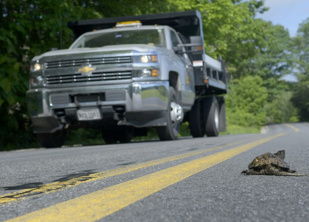 A truck slows down to avoid a snapping turtle as it crosses Vaughan Road in Hallowell in June. Maine Audubon and state wildlife officials are trying to map out the places where animals are most at risk of being struck by a vehicle.