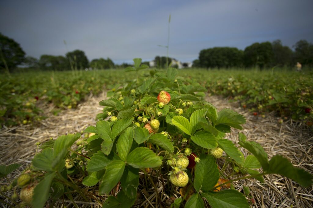 Maxwell's Farm in Cape Elizabeth and other farms are experiencing a delayed season for strawberries because of the stretch of abnormally cold temperatures this spring.