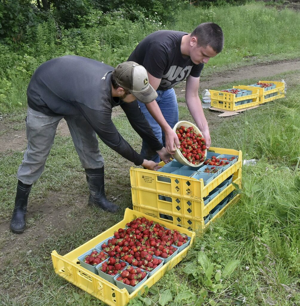 In late June workers at Underwood Strawberry Farm in Benton filled quart boxes with freshly picked strawberries.
