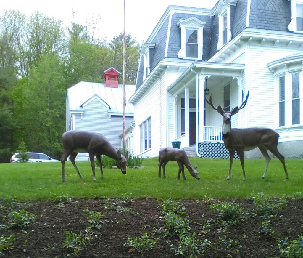 Dominick and Louise Rinaldi put down roots in Skowhegan in 1980 and have been adding to their home over the decades, including a trio of deer sculptures they commissioned from a Colorado company. This week thieves made off with the sculptures, which often were mistaken for real whitetails.
