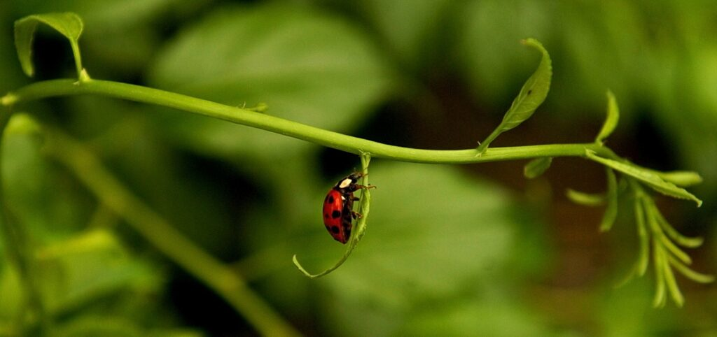 Ladybugs like to eat aphids, so attracting ladybugs is an excellent way to discourage aphids.