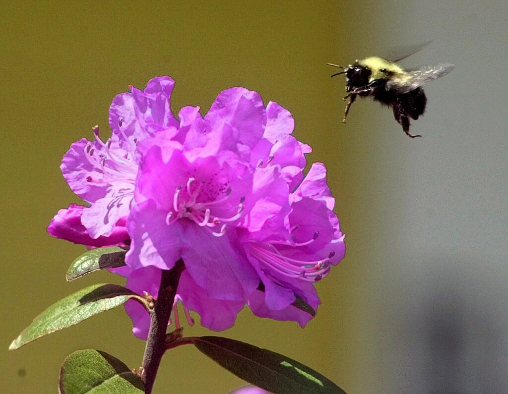 A bumble bee hovers over a rhododendron.  You can make your garden friendlier to pollinators in a number of ways, including (our favorite) make your garden less neat.