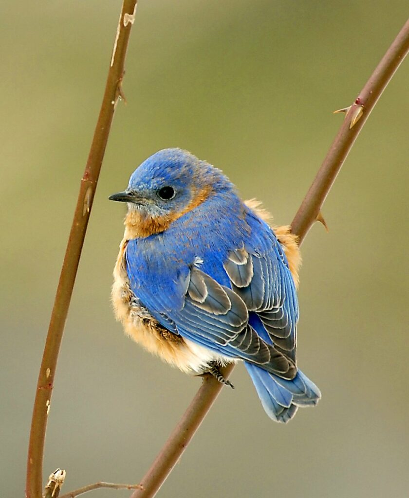 An Eastern bluebird perches along the Kennebec River in Pittston. The continent has lost nearly 3 billion birds representing hundreds of species over the past five decades.