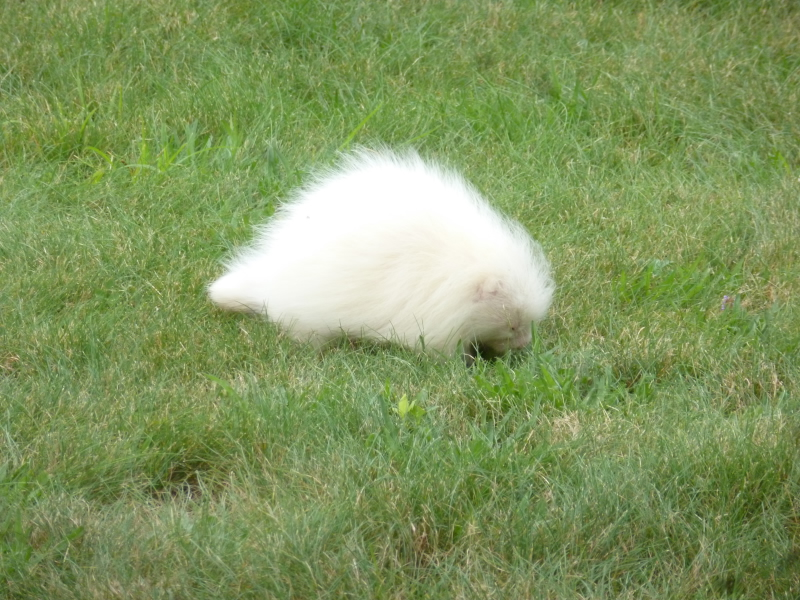 This rare, albino porcupine was spotted on the front lawn of the Seashore Trolley Museum in Kennebunport Tuesday.