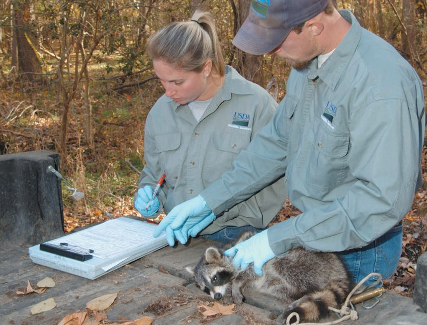 Biologists take a tissue sample from an anesthetized raccoon. The test will determine whether or not this animal ingested enough rabies vaccine to be protected. Baiting rabies vaccines is part of Wildlife Services' National Rabies Management Program.