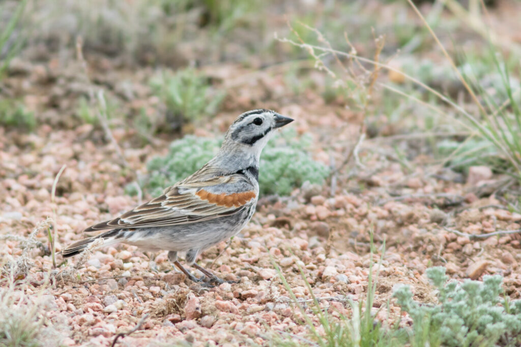 The McCown's longspur was named for Capt. John Porter McCown, who served in the Confederate Army. A proposal before a committee of the American Ornithologists Society sought a name change to avoid its association with slavery.