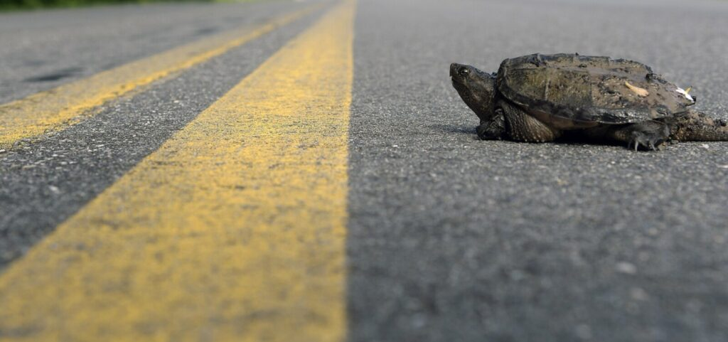 LITCHFIELD, ME - MAY 19: A Snapping Turtle approaches Wednesday June 19, 2019 the center line of the Vaughan Road in Hallowell. Reptiles, amphibians as well as amphibians - such as deer - are all traveling down roads in Maine in late spring.Staff photo by Andy Molloy